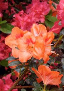 Fleurs d'azalée orange von lorenzo-fp