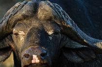 African Buffalo by Andy-Kim Möller