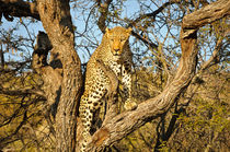 Climbing leopard by Andy-Kim Möller