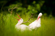 White-storks in love by Andy-Kim Möller