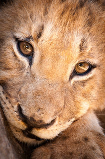 Lion cub portrait No. 1 by Andy-Kim Möller