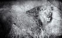 Kalahari King #1 - BW Edition by Andy-Kim Möller