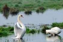 Mute swans von Andy-Kim Möller