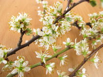 Zweige mit Schlehenblüten von Heike Rau