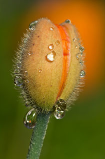 Poppy drops von Pete Hemington