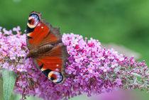Schmetterling II von elbvue by elbvue