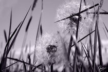 pusteblumengrasbauchliegen by ndsh