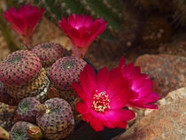 Kaktusblüte,rot, makro, rebutia heliosa, red blossom of cactus, macrophotography von Dagmar Laimgruber