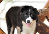 Border Collie by Heike Loos
