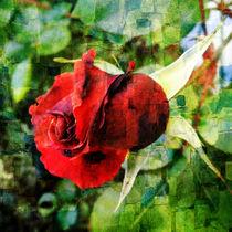 growing rose by ursfoto