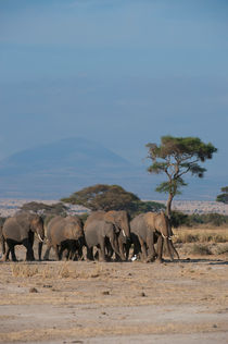 African elephant herd in Amboseli National Park in Kenya by Wolfgang Kaehler