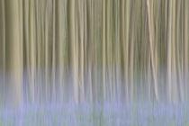beech forest with bluebells von Barbara Brolsma