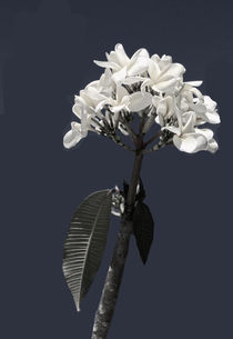 Black and White Plumeria by Rosalie Scanlon