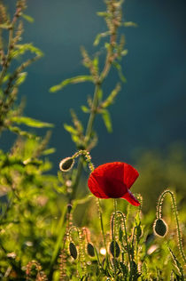 Sunset and the poppies by Maria Livia Chiorean