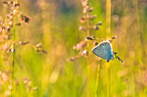 Blue butterfly by Maria Livia Chiorean