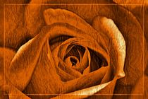 orange Rose von leddermann