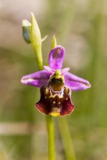 Hummel-Ragwurz (Ophrys holoserica) von Walter Layher
