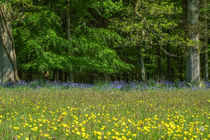 Buttercups & Bluebells von David Tinsley