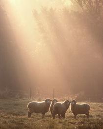 Sheep von George Robinson