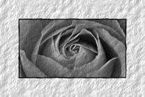 Rose b&w II von leddermann
