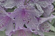 Rhododendron 002 von leddermann