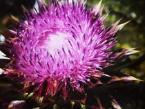 Prickly-beauty-large-watermarked