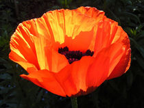 Mohnblüte von Isabell Tausche