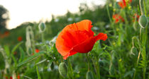Mohn by Jens Uhlenbusch