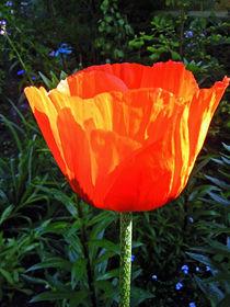 Mohnblüte III von Isabell Tausche