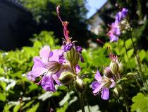 Storchschnabel-Geranium von Isabell Tausche