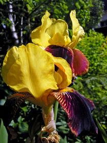 Schwertlilie -Iris von Isabell Tausche