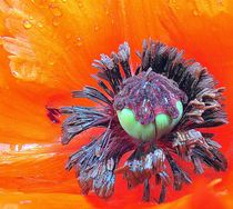 Klatschmohn by Florette Hill