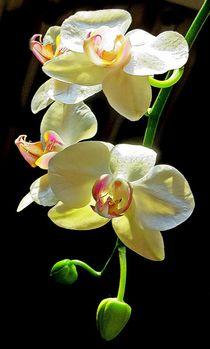 Orchideen Rispe von Florette Hill