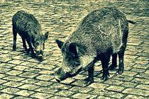 Wildschweine-001-6000zzz