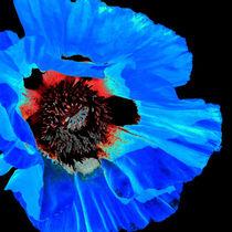 Orientalischer Riesenmohn-blau by Erhard Hess