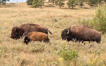 Bison Family von John Bailey