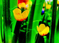 Blütenträume 12 Sumpfdotter by Walter Zettl