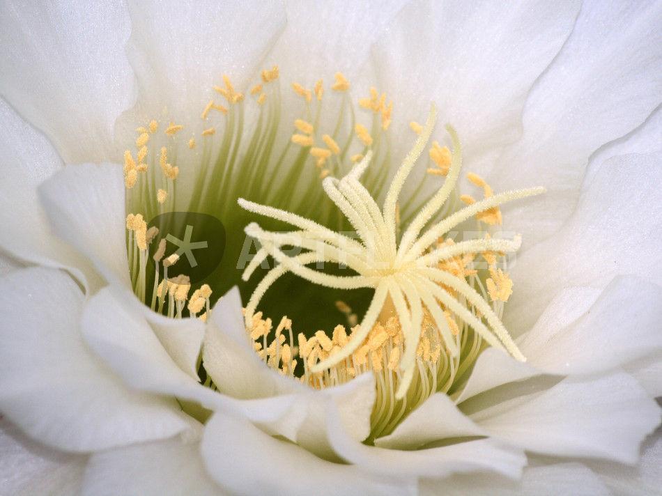 Kaktusblüte,weiß, makro, pistills of white blossom of cactus ...