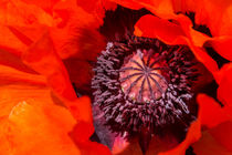 Oriental poppy closeup, Papaver orientale by 7horses