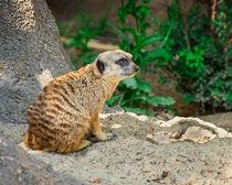 Watchful Meerkat by Jon Woodhams