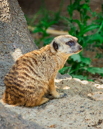 Ray-and-helga-backyard-zoo-downtown-memphis-138-meerkat-nowm-vertical
