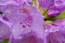Rhododendron 003 von leddermann