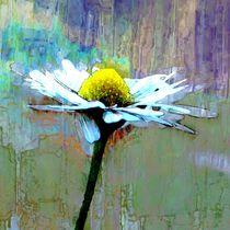 single daisy von urs-foto-art