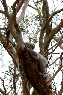 koala in the tree #5 von Tim Leavy