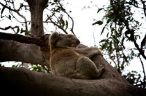 Koala asleep in the tree #3 von Tim Leavy