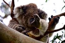 Koala asleep in the tree #2 by Tim Leavy