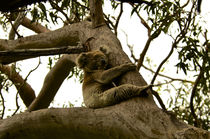 Koala asleep in the tree #1 von Tim Leavy