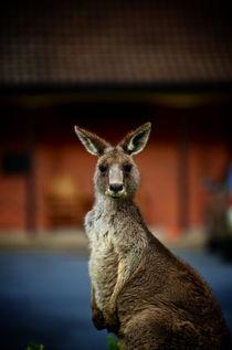 Hello Kangaroo von Tim Leavy