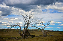 Dead Trees in the Australian Countryside by Tim Leavy