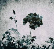 Geranium by Laura Benavides Lara